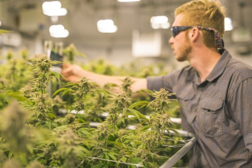 Insurance brokers weigh in on cannabis micro-cultivator boom