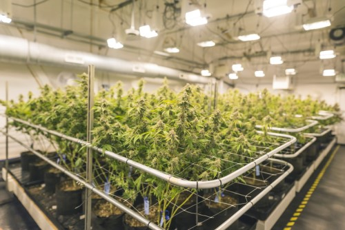 Canadian cannabis companies in Colombia continue investing despite risks