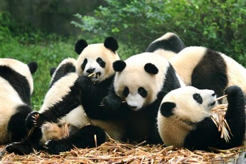 Insuring panda-monium