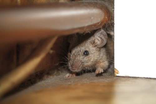 Homeowners blame insurer for rodent disaster