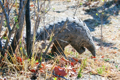 Chinese insurers to stop covering pangolin-based medicines